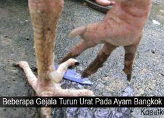 Beberapa Gejala Turun Urat Pada Ayam Bangkok