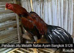 Panduan Jitu Melatih Nafas Ayam Bangkok S128