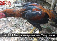 Trik Untuk Mengatasi Ayam Aduan Yang Lemas