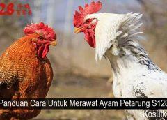 Panduan Cara Untuk Merawat Ayam Petarung S128